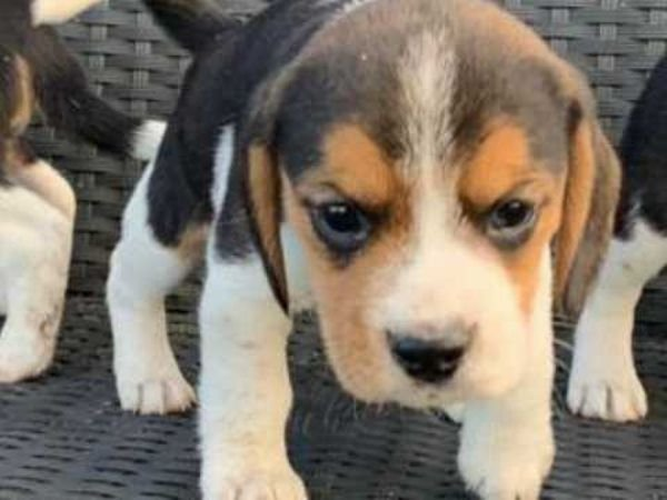 AVAILABLE TO THE LOVE BEAGLE PUPPY