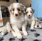 Cute Australian Shepherds Puppies for Sale