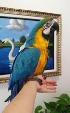 Adorable Talking Blue and Gold Macaw Parrots