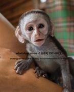 males and females capuchin monkeys for sale