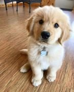 Male and Female Golden Retriever Puppies For Sale