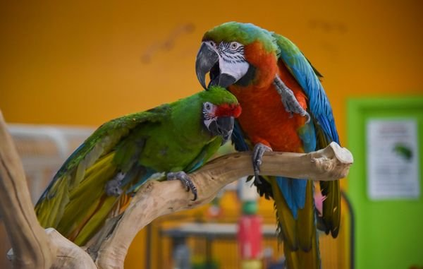Beautiful African parots for sale