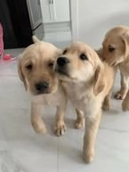 Two Labrador puppies for sale