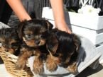 Lovely Yorkie puppies for sale