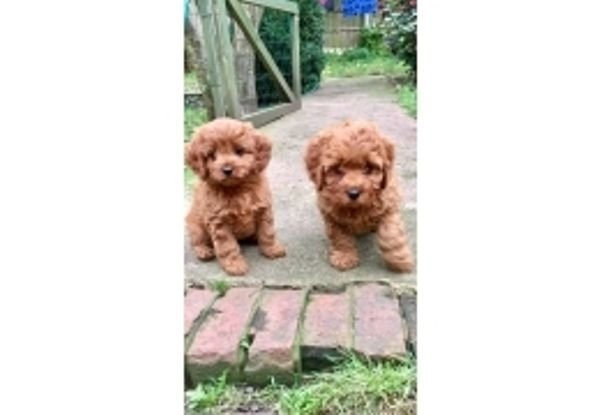 Toy poodles puppies available for sale