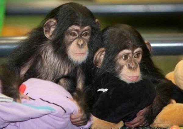 Chimpanzee Monkeys available for Sale