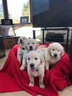 Cute Golden Retriever Puppies for sale