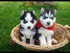 Amazing blue eyes Siberian huskies for Rehoming