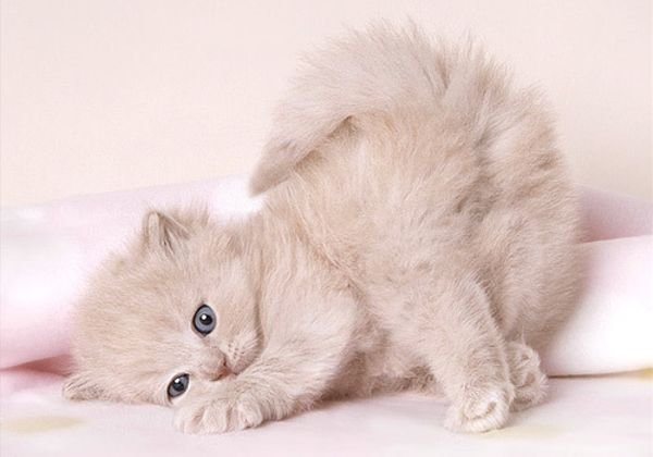 Cute British shorthair home raised kittens available for adoption,