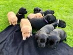 Labrador Puppies for available