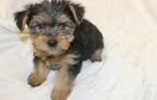 2 teacup size adorable Yorkshire puppies available now.