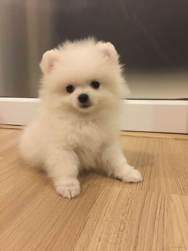 Lovely male and female Teacup Pomeranian Pups Available for sale