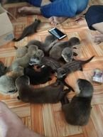 male and female Otters available