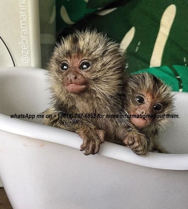 healthy/vaccinated clean marmoset monkeys available for sale