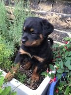 Lovely Rottweiler Puppies Available for sale