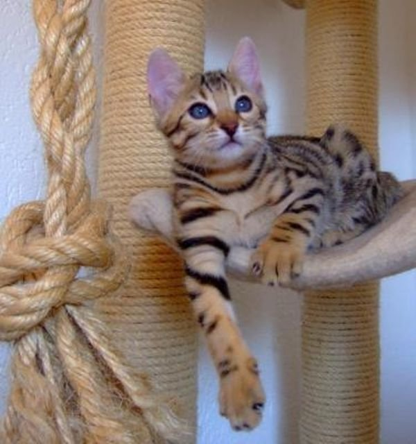 f2 Savannah and Bengal kittens available
