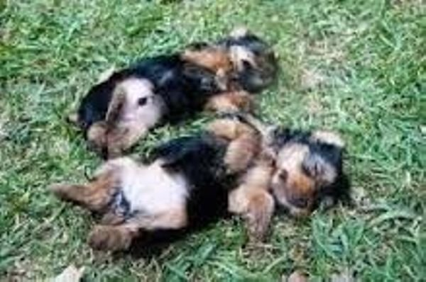 Home raised yorkie puppies for rehoming.WHATSAPP:+17196477169