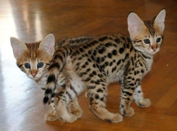 Superb type Serval and F1 Savannah kittens available for reservation