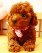 Super Sweet Toy Poodle Puppies for good homes.