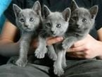 Cute Blue Russian kittens for sale