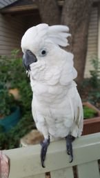 Breasted Umbrella Cockatoo parrots for Sale