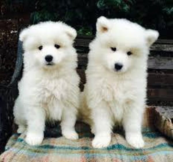 Lovely Samoyed puppies For Sale