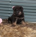 Strong and Energetic German Shepherd puppies for sale