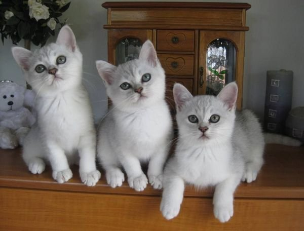 Burmilla beautiful Male and female kittens available for sale