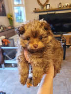 Male and female poodle puppies