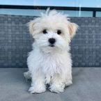 Teacup puppy for sale