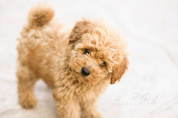 Pure Breed Toy Poodle