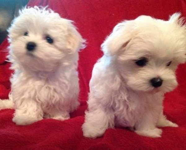 Adorables Teacup Maltese Puppies