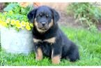 Rottweiler Puppies Girls and boys For Sale