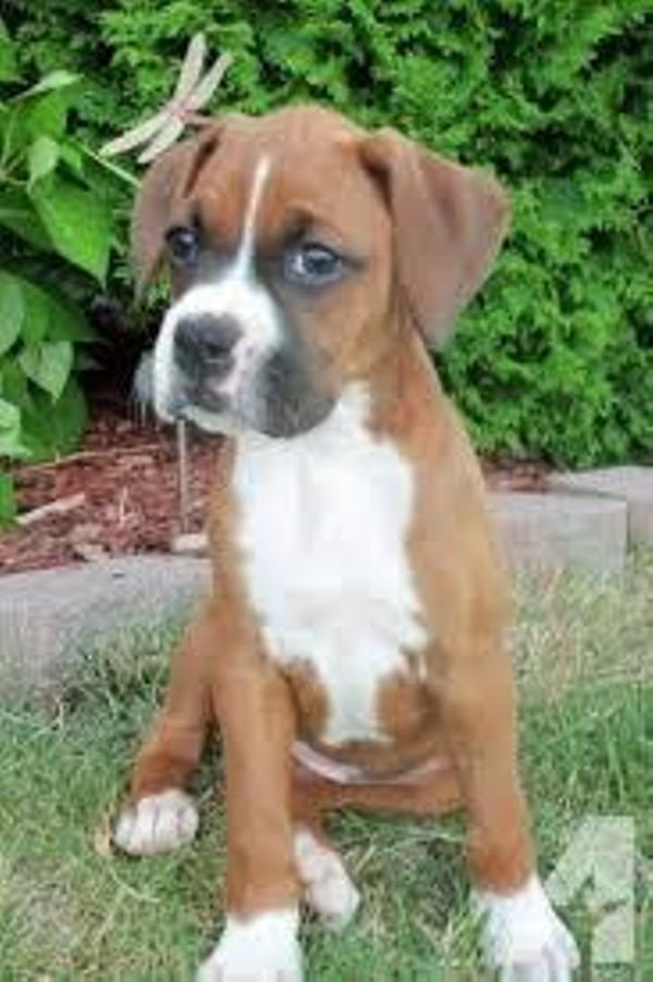Cute Boxers puppies available