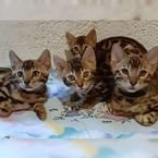 LOVELY STUNNIMG BENGAL KITTEN AVAILABLEB