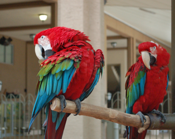 growing macaw parrots