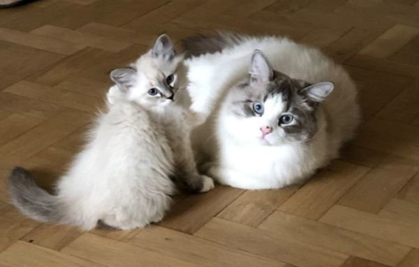 Adorable Siberian kittens both male and female available!!