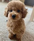 Toy poodles puppies for adoption