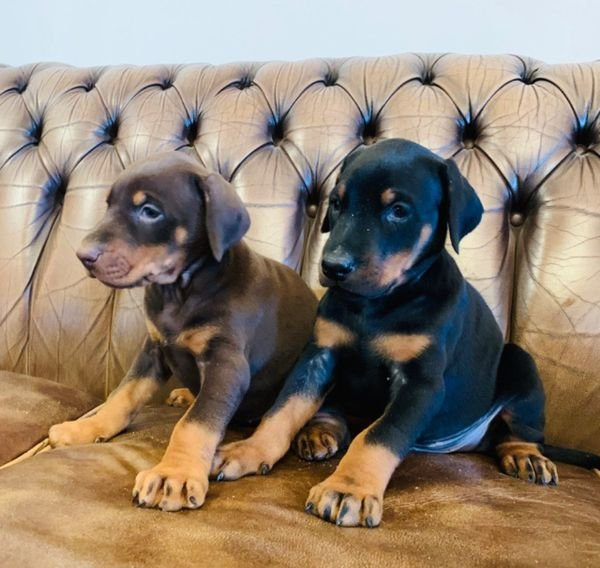 Beautiful Doberman puppies