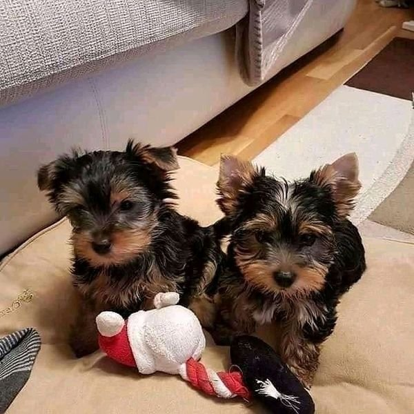 Awesome Yorkie Terrier puppies all ready