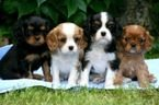 Charming king Charles puppies available for sale
