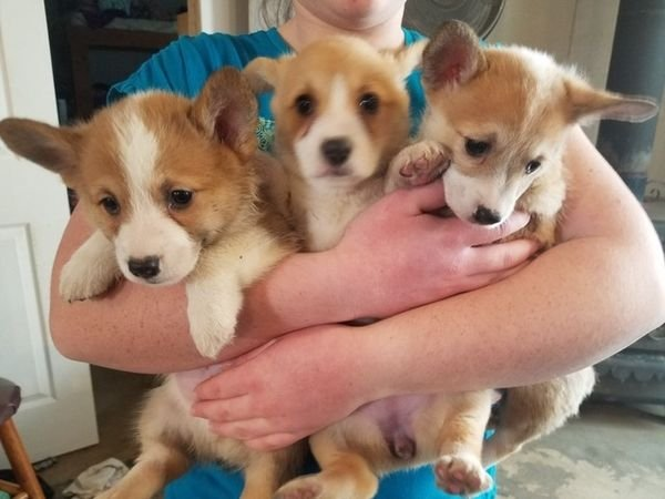Corgi Puppies for Rehoming