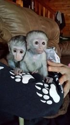 Lovely Capuchin Monkeys available