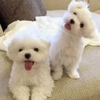 Maltese puppies,