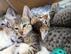Male and female savannah kittens available