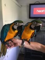 Blue and Gold Macaw parrots male and female for sale
