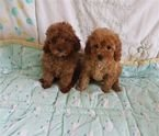Teacup toy poodles ready for their new home