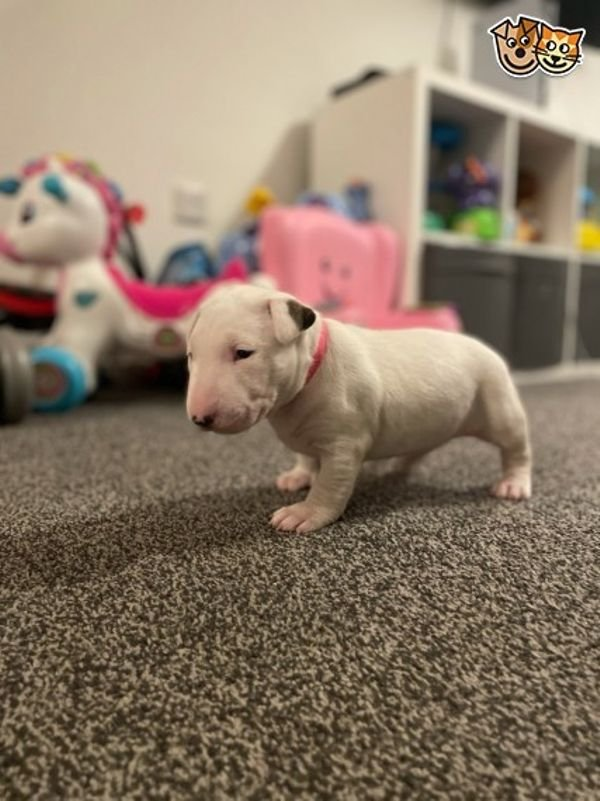 Outstanding English Bull Terrier Puppies