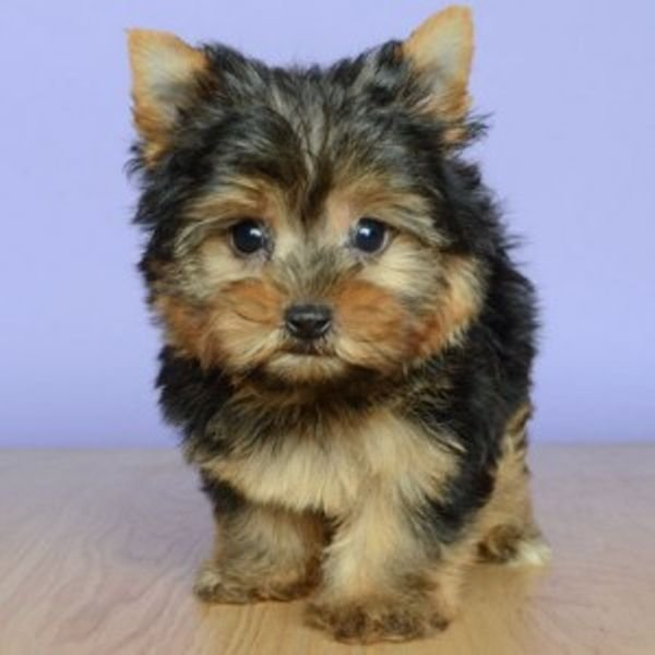 ~Teacup Yorkie Puppies Available~