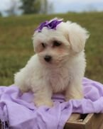 Beautiful MaltesePuppies for sale